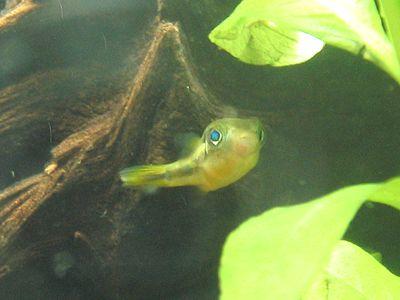 アベニーパファー 淡水フグ