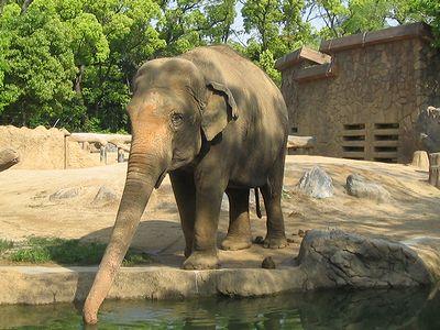 ゾウ 象 アジアゾウ